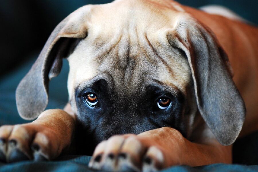 cane sguardo dolce