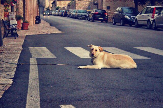 cane strisce pedonali