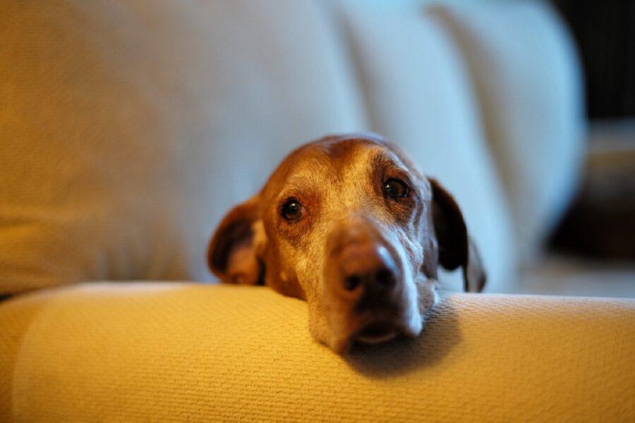 cane pensieroso dolce