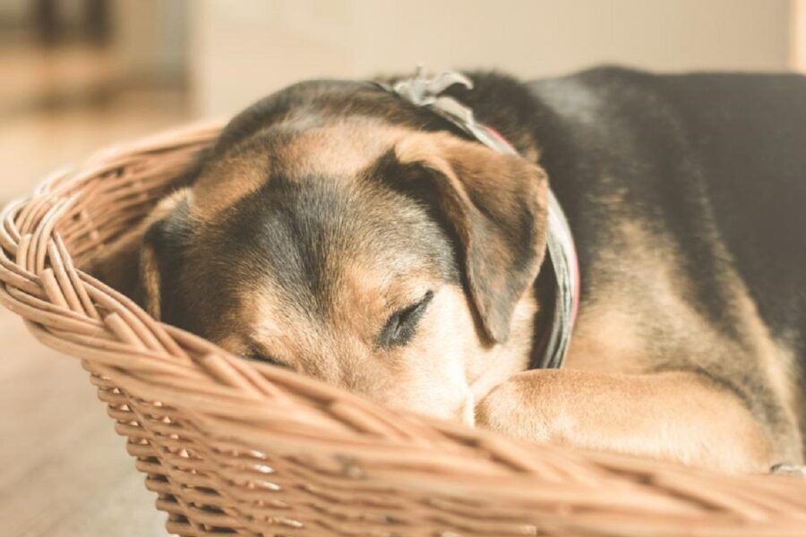 cane riposo cesta