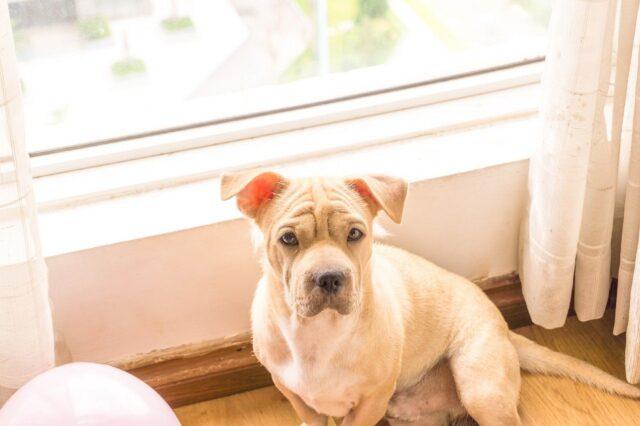 cane cucciolo finestra