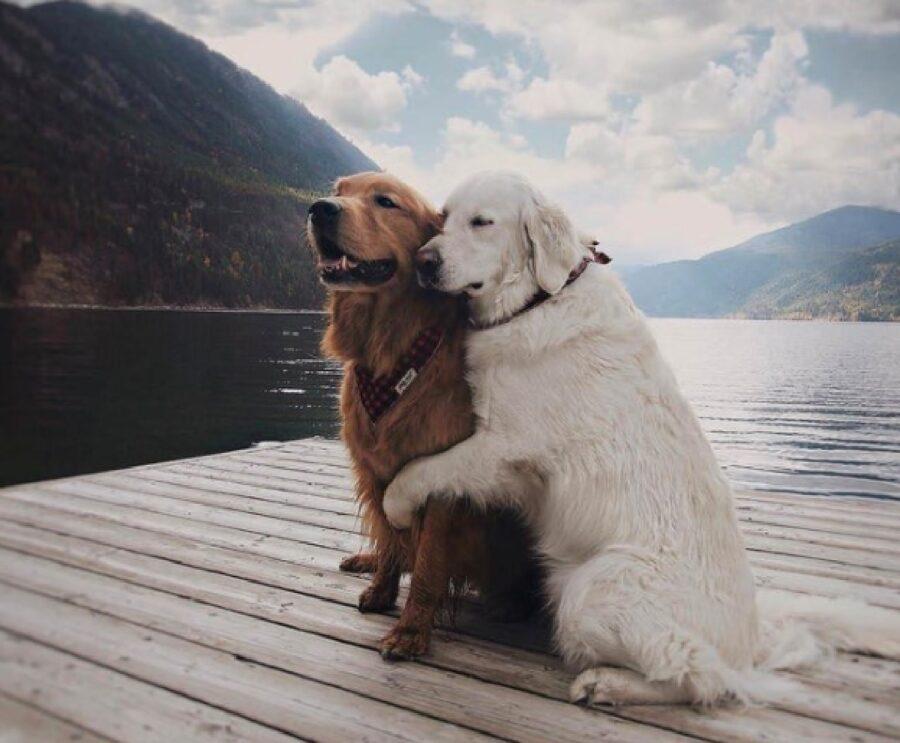 coppia cani golden lago