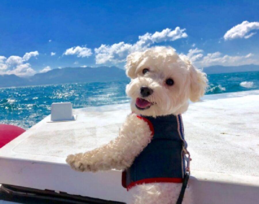 cane barboncino su barca