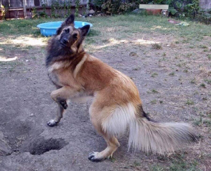 cane pastore zampetta alzata