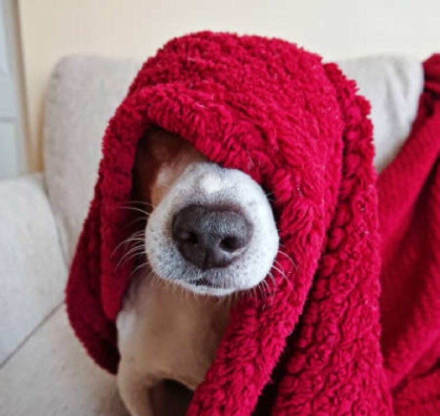 cane panno rosso copre faccia