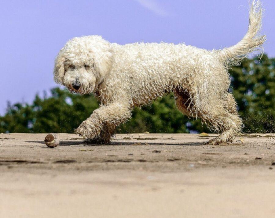 cane lagotto sporco sabbia