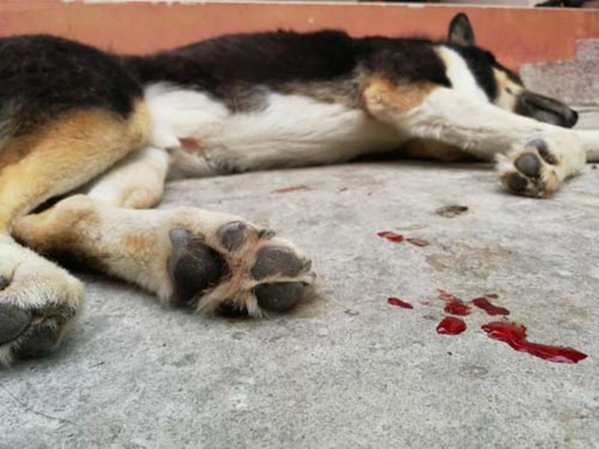 cane sangue
