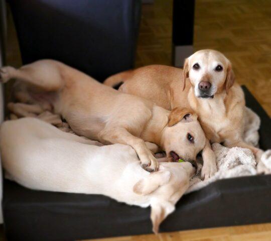 cani giocano insieme