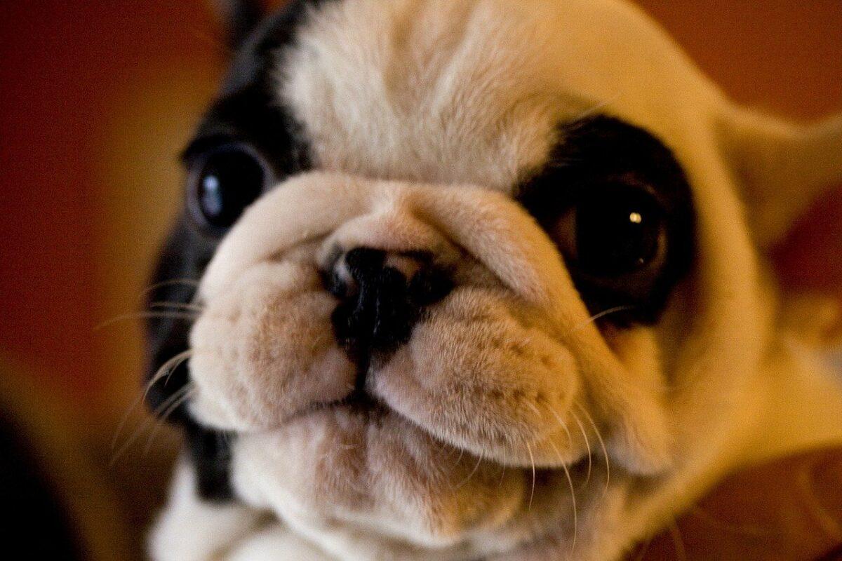 cucciolo di carlino