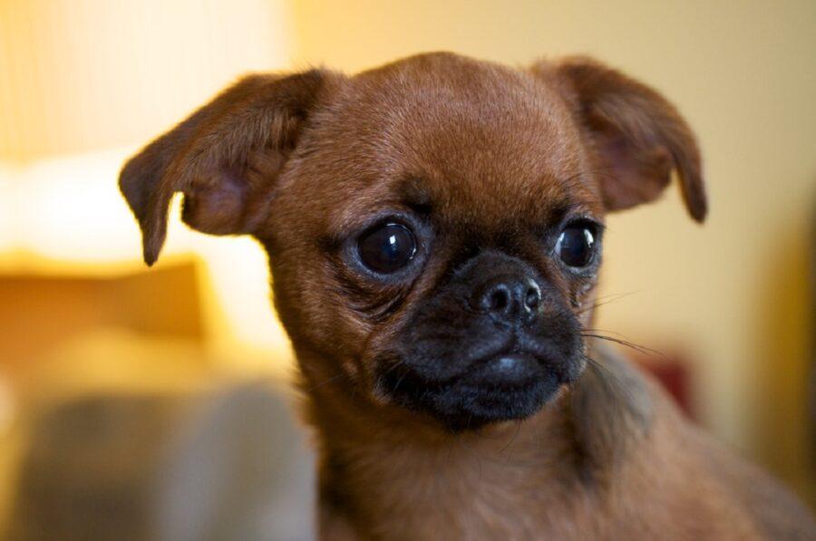 cagnolino piccolo tenero