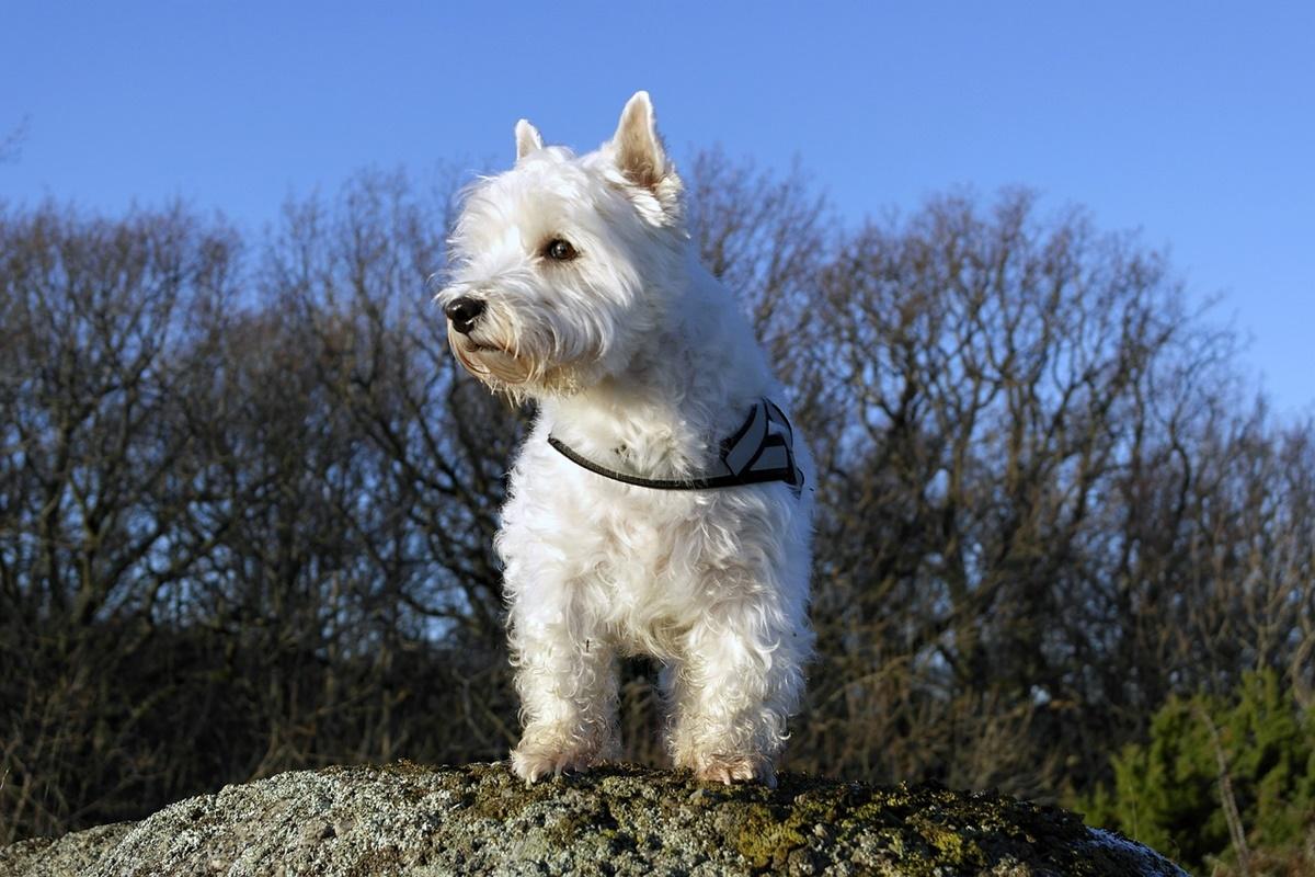 West Highland White Terrier bianco