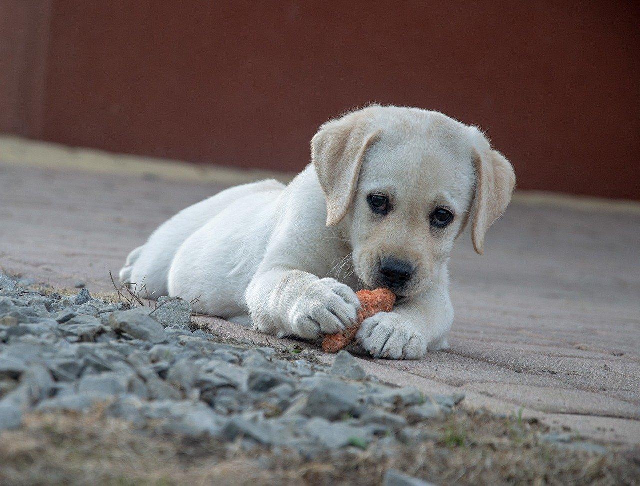 labrador piccolo mangiucchia