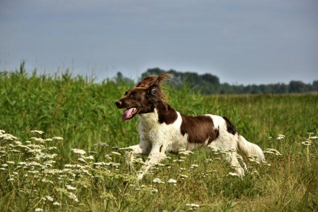 cane da caccia corre nel prato