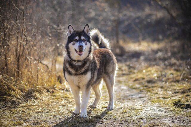 cane husky posa