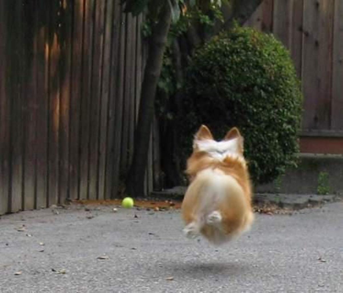 corgi gioca con pallina