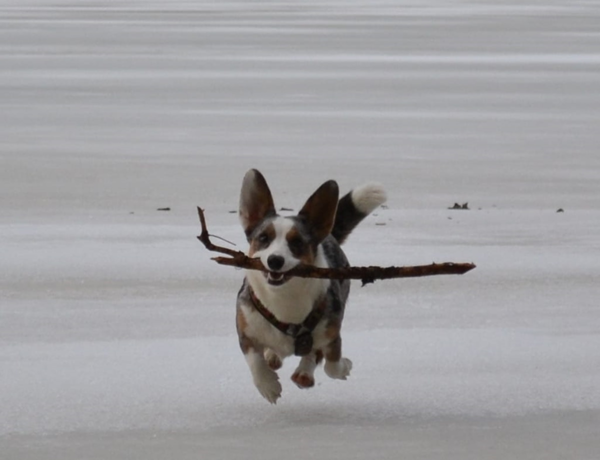corgi vola con bastone