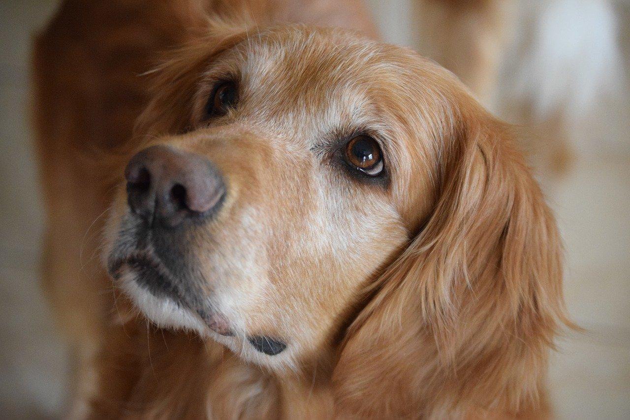 cane con sguardo tenero