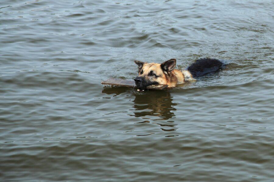 pastore tedesco nuota