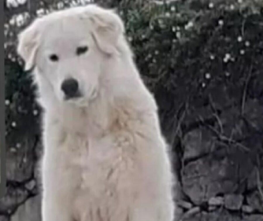 cane pastore maremmano scomparso