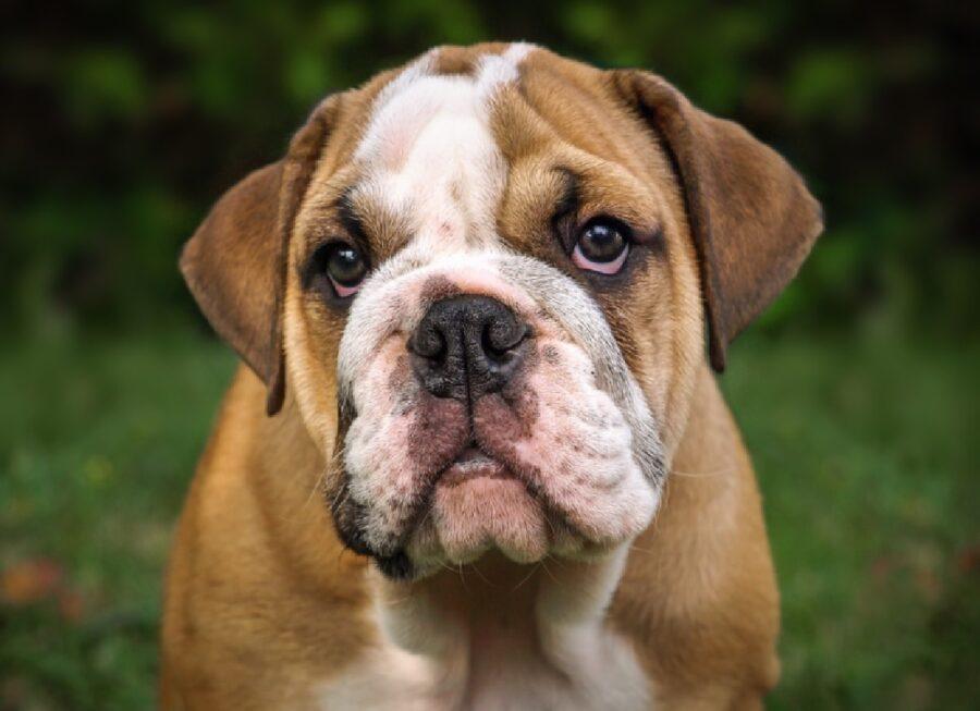 cane bulldog contatto visivo