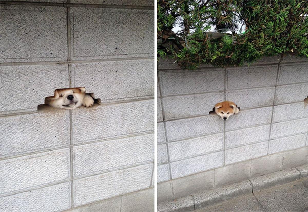 cane si infila nel muro