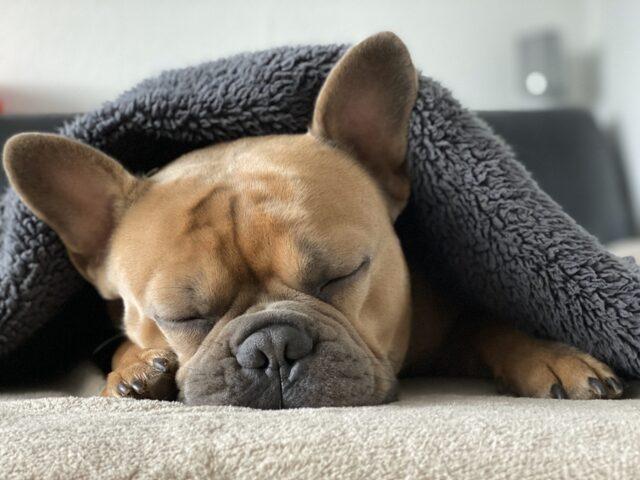 bulldog coperta