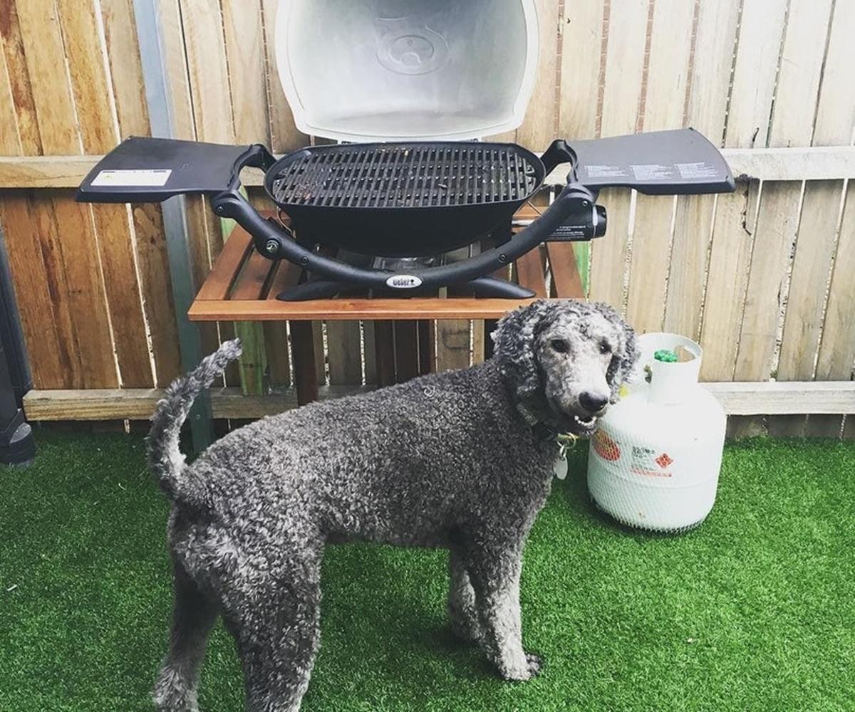 cane attende barbecue