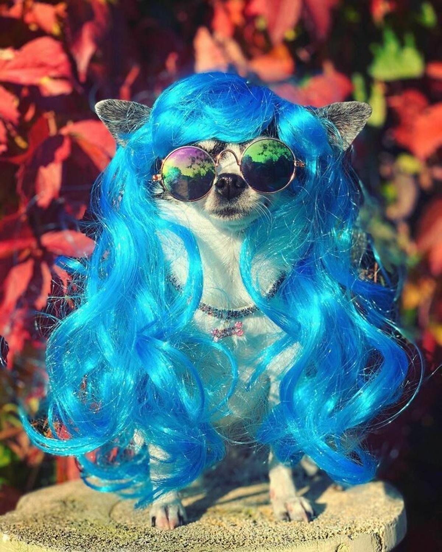 cane capelli blu