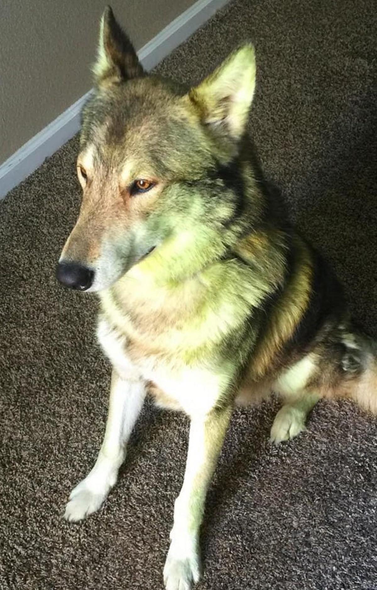 cane luci verdi