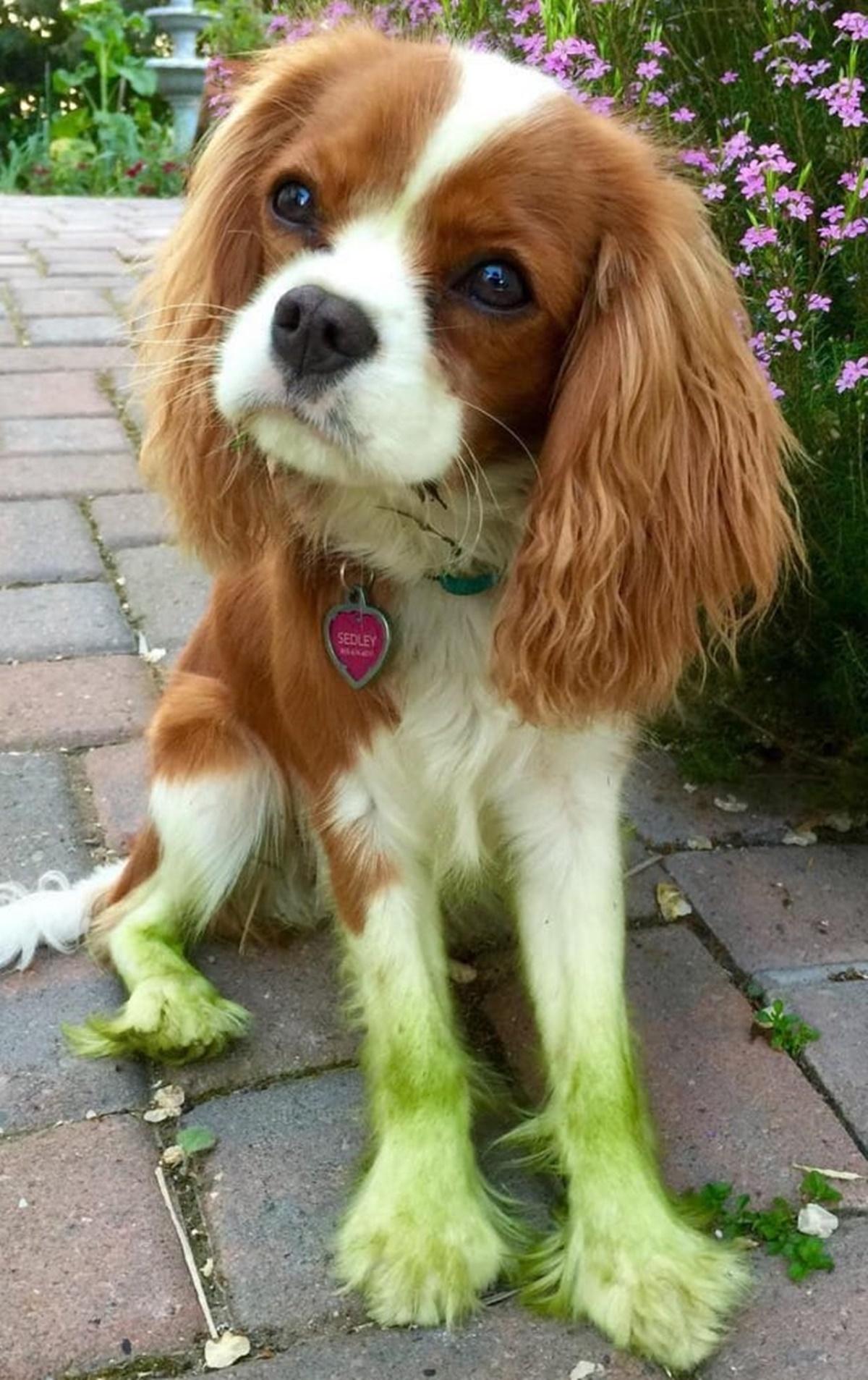 cane peloso verde