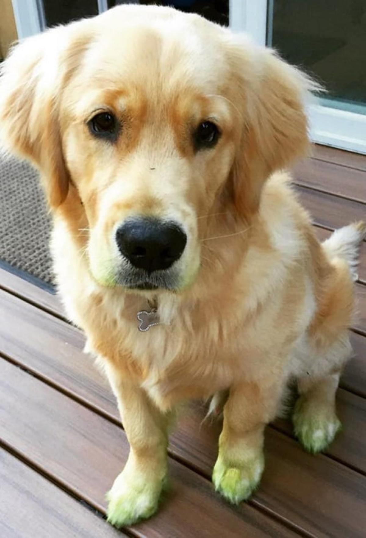 cane pelo verde