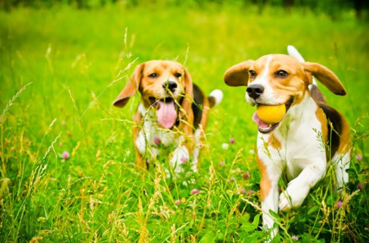 beagle corrono