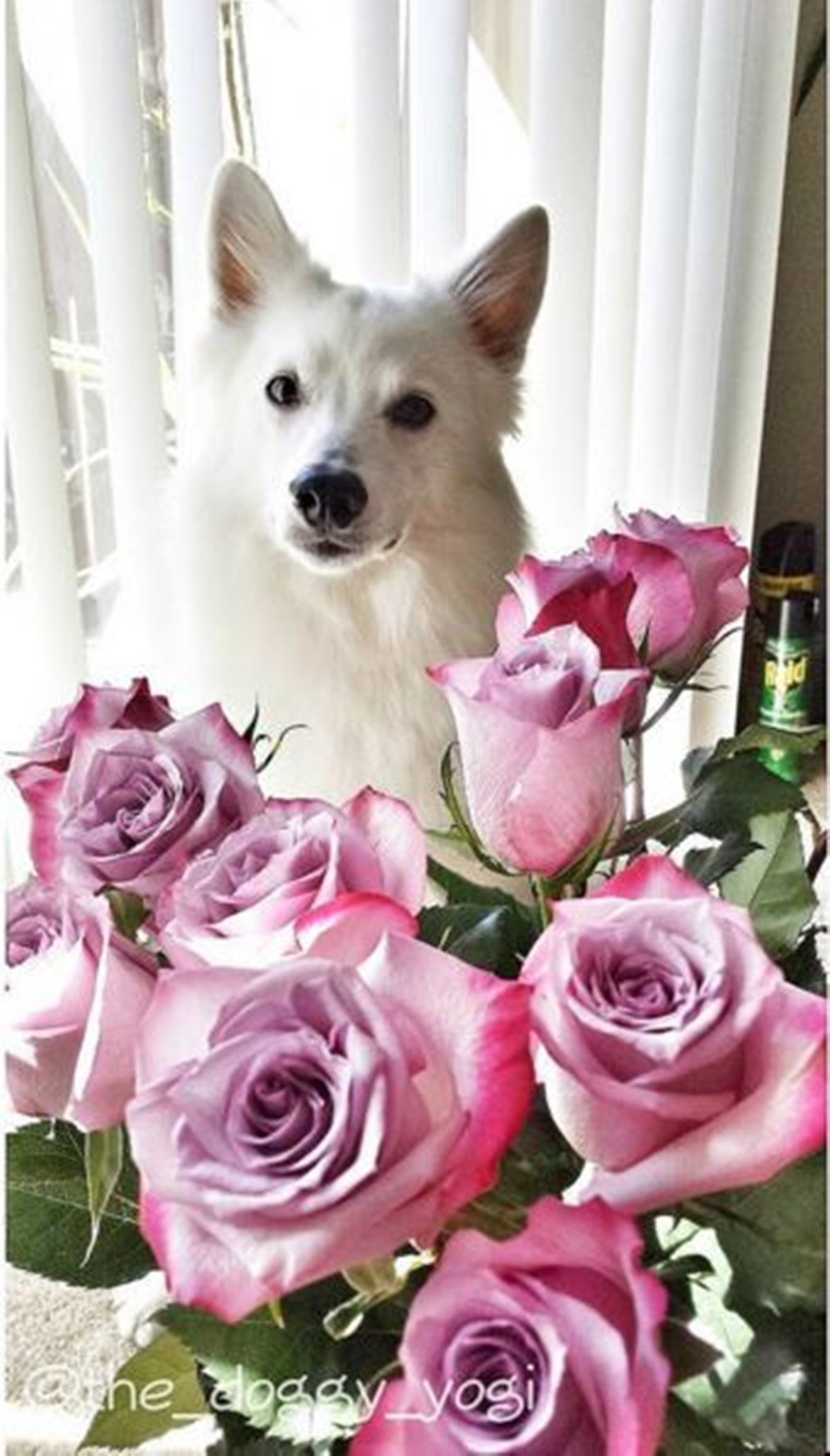 cane con rose