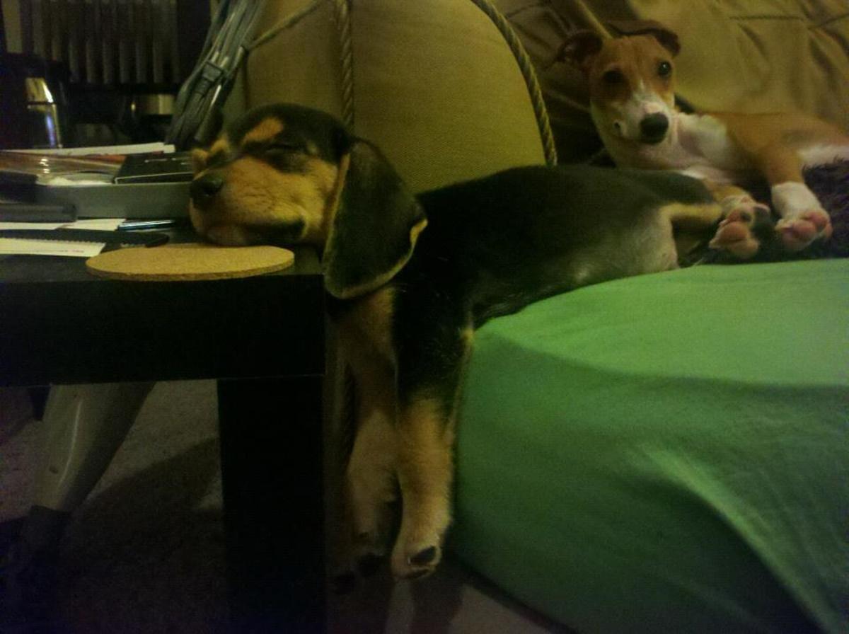 cane dorme su tavolo