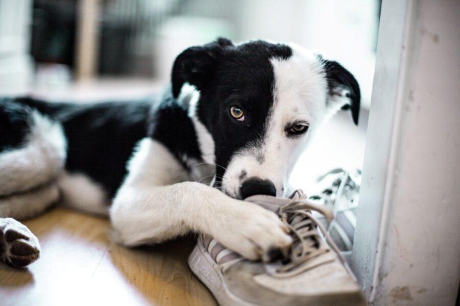 cane gioca scarpa