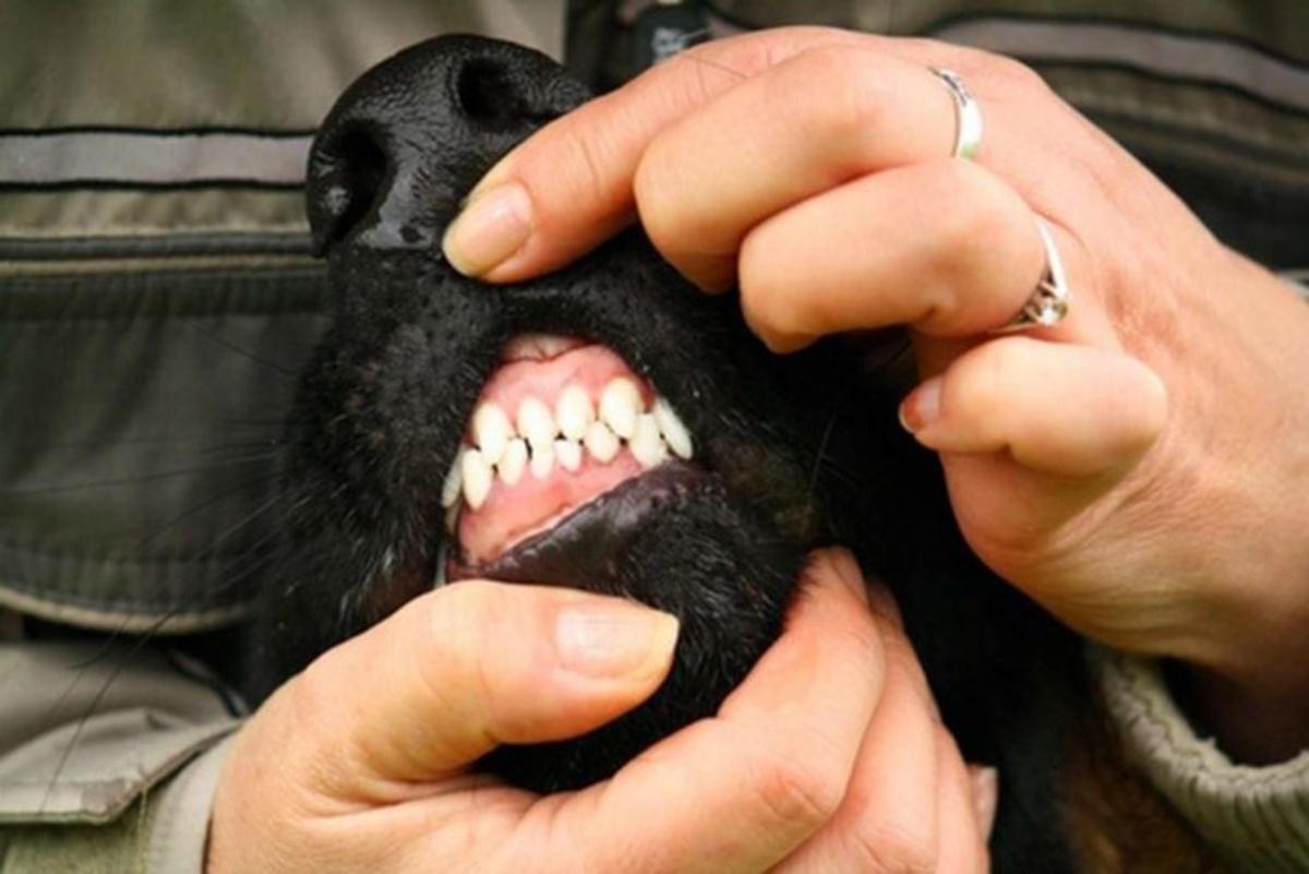 cane denti