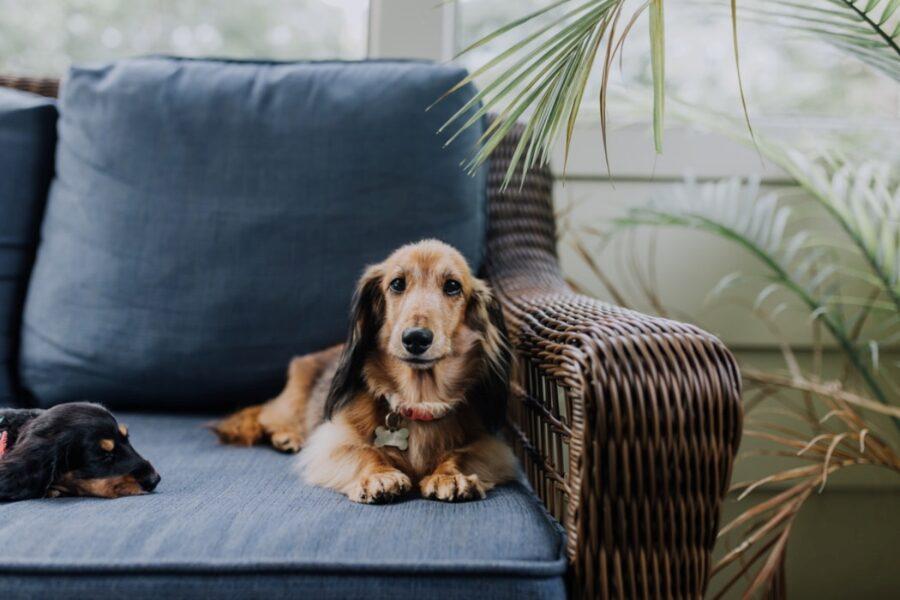 cane divano dolce