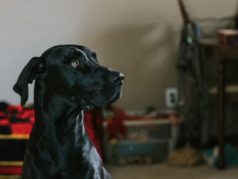 cane nero guarda