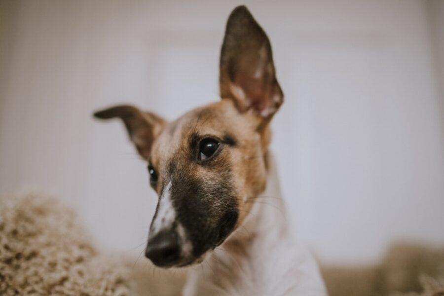 cucciolo osserva orecchie