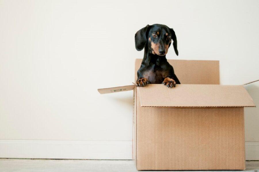 cane bassotto scatola