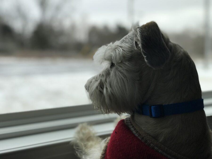 cane osserva fuori