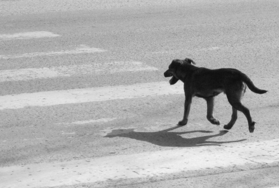 cane attraversa striscie