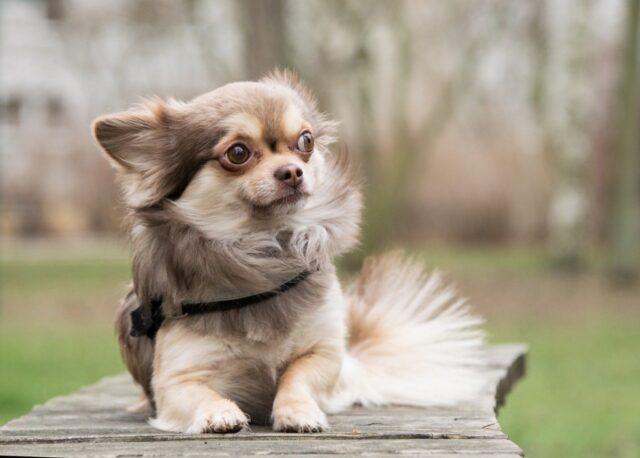 cane chihuahua cucciolo
