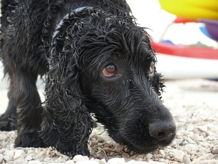cane triste bagnato