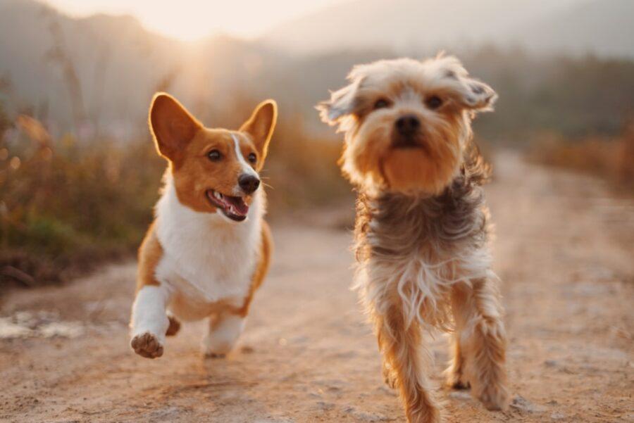 cuccioli corrono felici