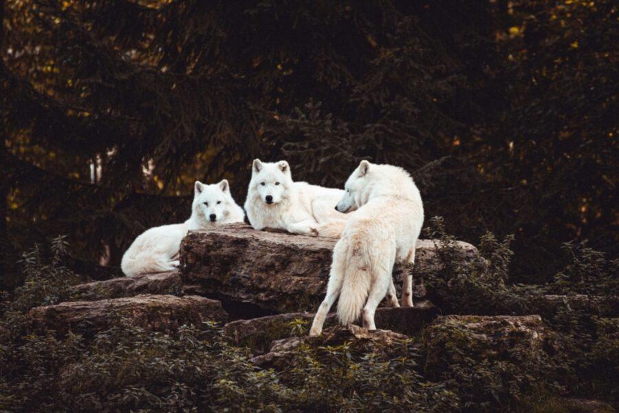 cani bianchi selvatici