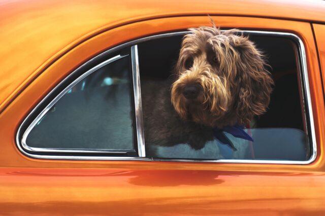 cane auto arancione