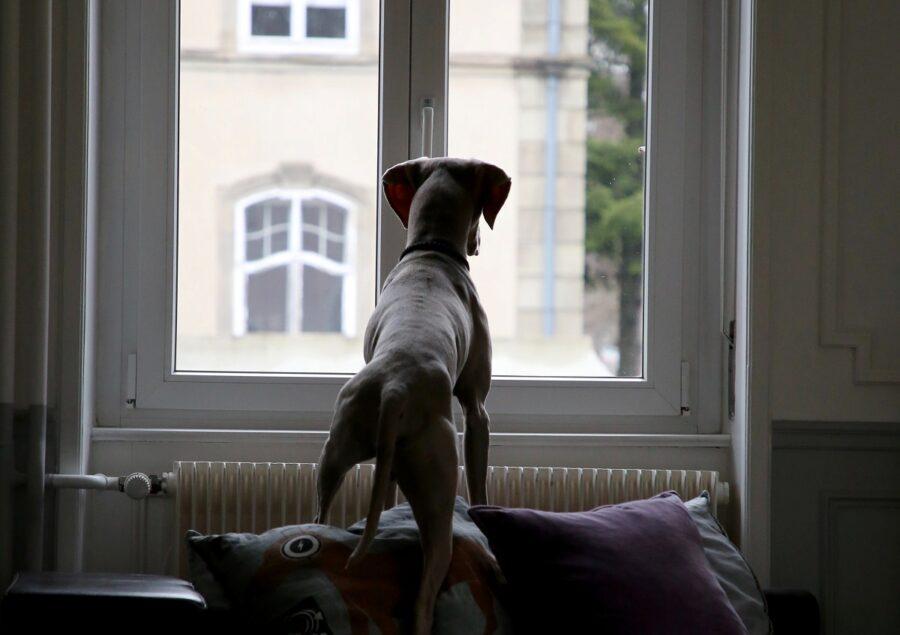 cane finestra guarda