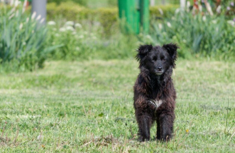 cane nero peloso