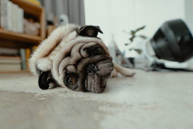 carlino dolce cagnolino